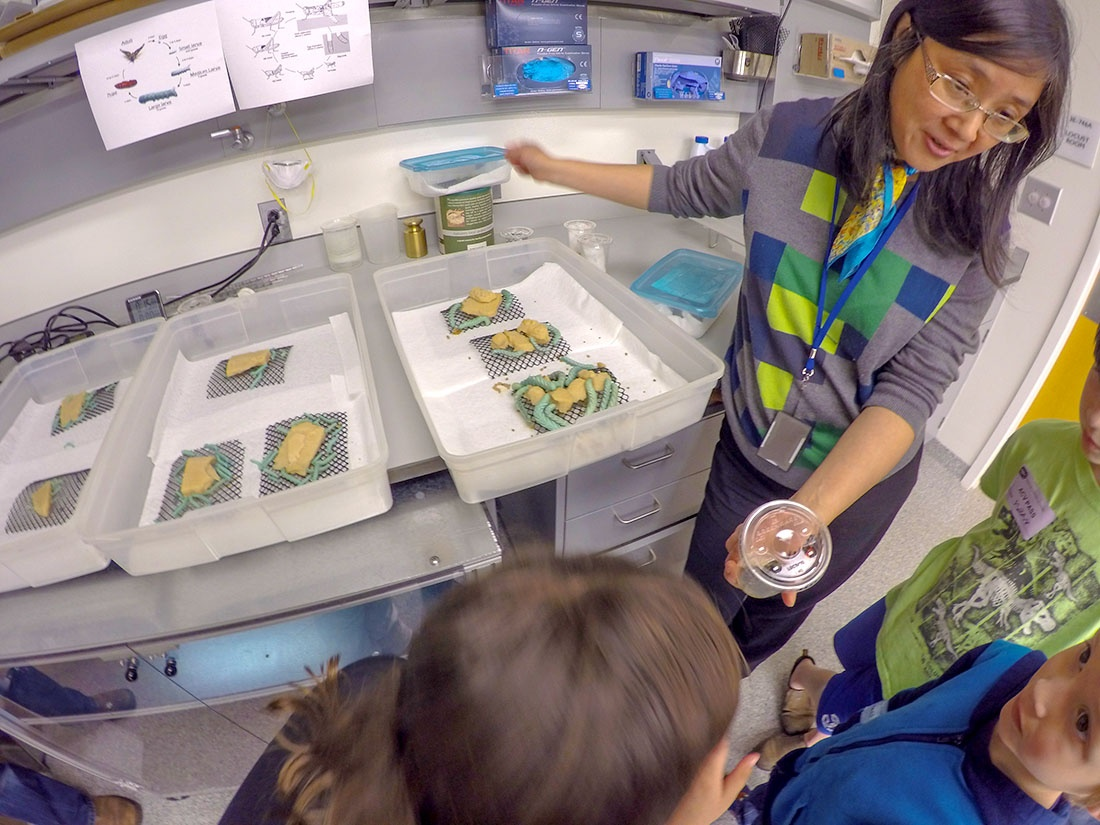 Researchers, children, and parents look at manduca caterpillars in dishes with agar