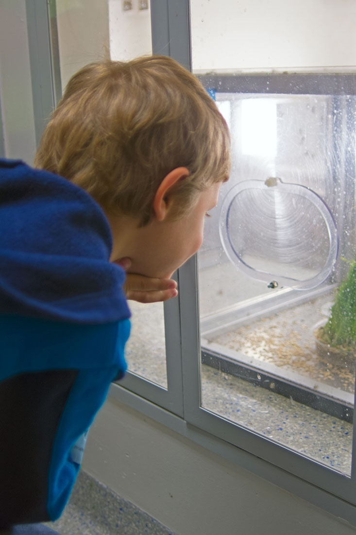 A boy rests his chin on his hands as he looks into the insect case