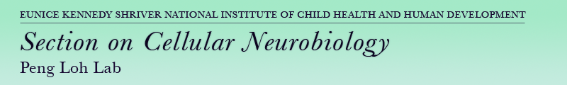 Eunice Kennedy Shriver National Institute of Child Health and Human Development - Section on Cellular Neurobiology - Dr. Peng Loh Lab