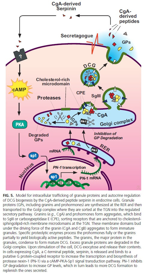 Figure 5. Model for intracellular trafficking of granule proteins and autocrine cells. Granule proteins (GPS